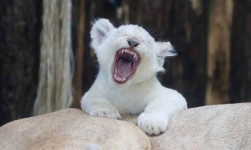 Cucciolo di leone bianco