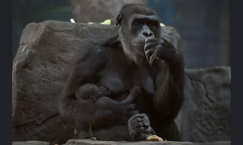 Una femmina di gorilla di nome Kira tiene tra le braccia il suo cucciolo nato da poco, allo zoo di Mosca.